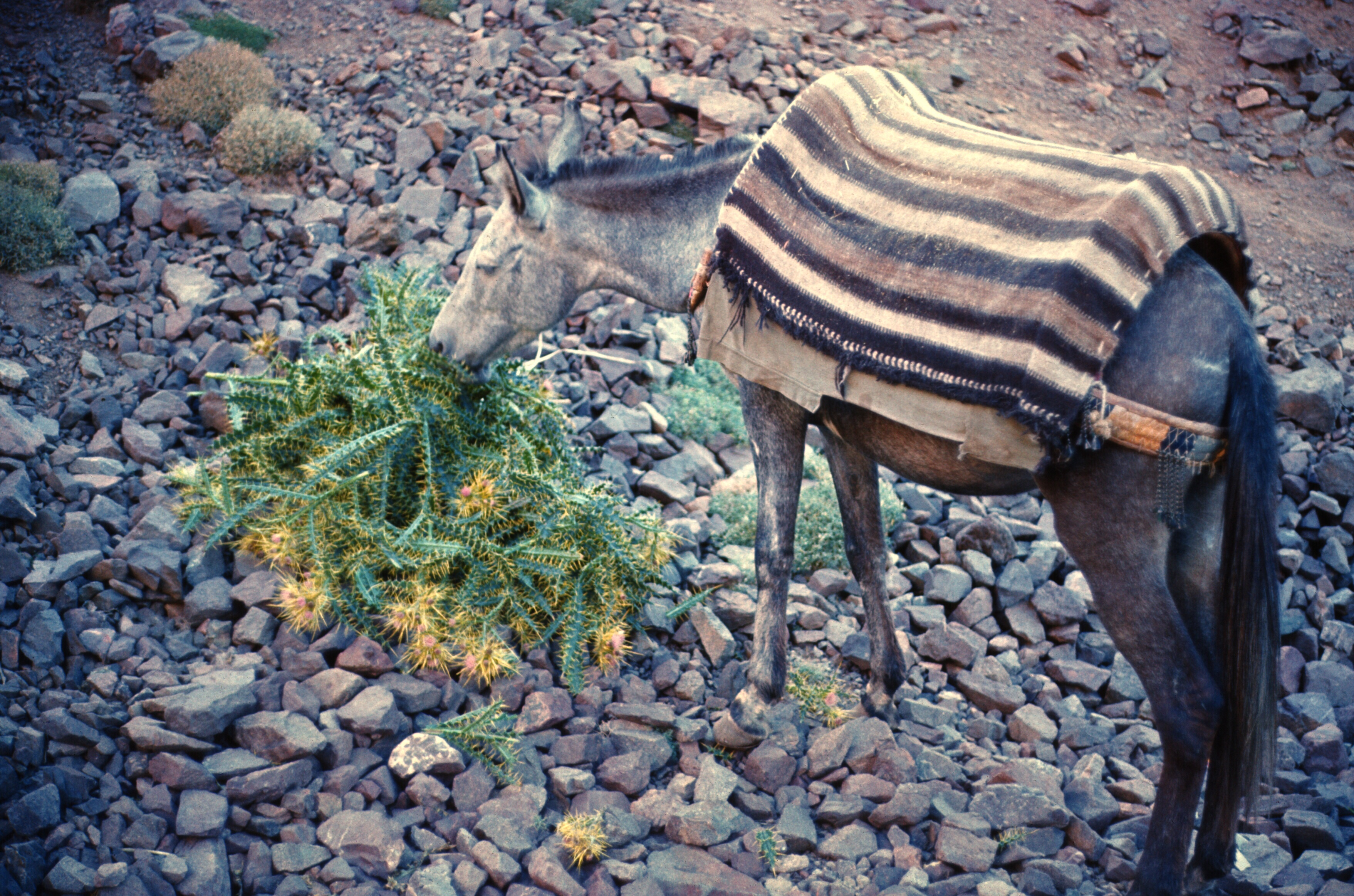 morocco high atlas mule thistles