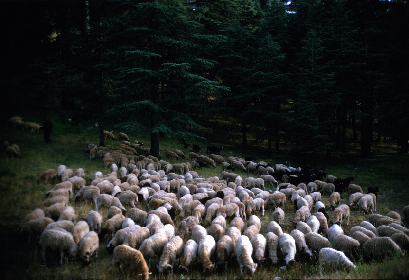 Moutons qui paissent dans la forêt de cèdres près d'Ifrane.